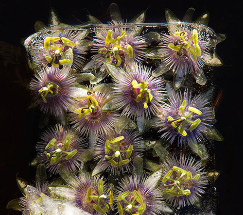 Bruce Boyd fotí nádherné fotky zmrzlých květů